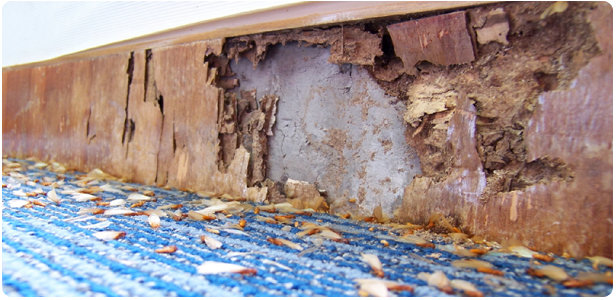 termite-eating-off-wooden-walls